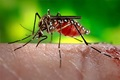 An Aedes aegypti mosquito can transmit the viruses that cause dengue fever.  CDC/Prof. Frank Hadley Collins, Cntr. for Global Health and Infectious Diseases, Univ. of Notre Dame