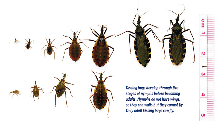 Adult kissing bugs are mostly active in the warmer months, from May to October. Kissing bugs develop into adults after a series of five life stages as nymphs, and both nymphs and adults feed on blood. Kissing bugs feed on humans as well as wild and domestic animals and pets. They can live between one to two years. (Photo by Texas.gov)