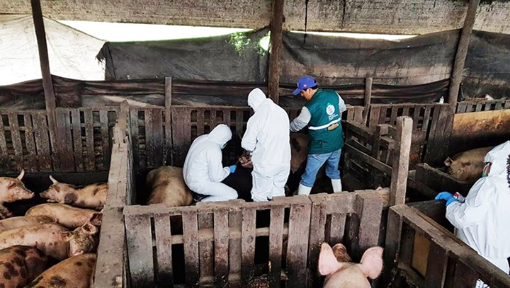 Three men in a pig pen taking samples