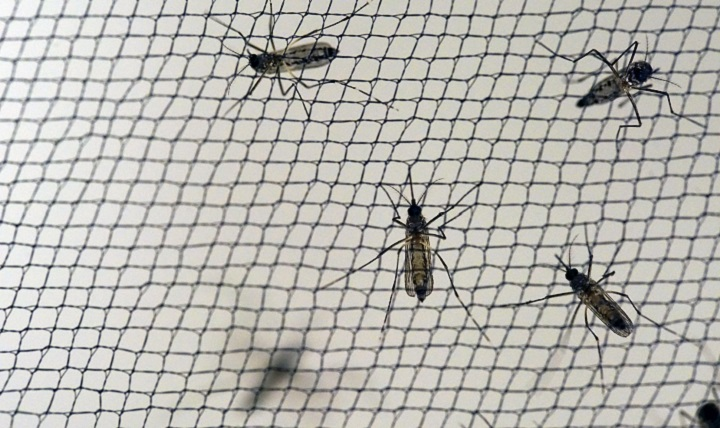 Yellow fever mosquitoes – Aedes aegypti – are reared in the Walter Reed Army Institute of Research insectary by the thousands for use in pre-clinical Zika vaccine experiments and for research into new vector control products and methods. (Walter Reed Army Institute of Research photo)