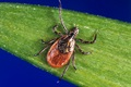 Every year, roughly 30,000 Americans contract Lyme disease from a blacklegged tick. (CDC photo)