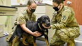 Two veterinary personnel wearing masks examine a dog